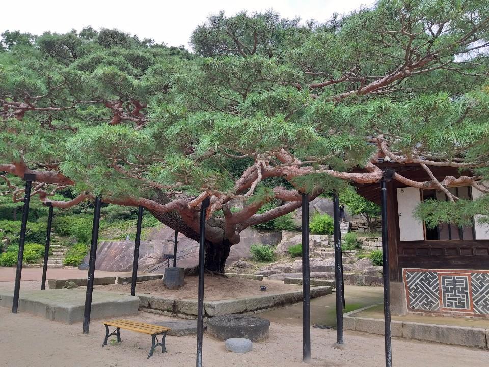 석파정 앞 정원의 수령 650년으로 추정되는 천세송